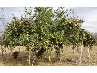 Ayva Ağaçları Meyvelerini Taşıyamıyor