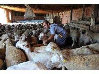 5 Bin Adet Damızlık Koyun-keçi Dağıtılacak