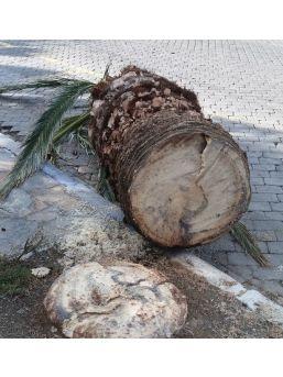'kırmızı Palmiye Böceği' Şimdi De İzmir'e Dadandı
