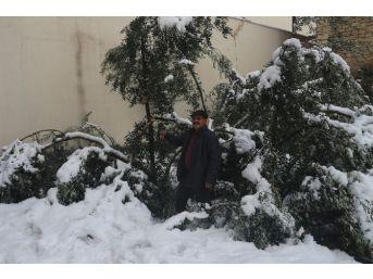 Mut'ta 20 Yıl Sonra Yağan Kar Zeytinleri Vurdu