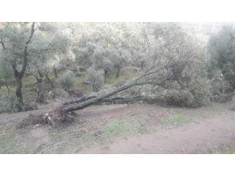 Fırtına Koçarlı'da Ağaçları Yıktı