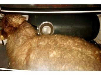 Jandarmanın Durdurduğu Otomobilin Bagajından Çalıntı Koyunlar Çıktı