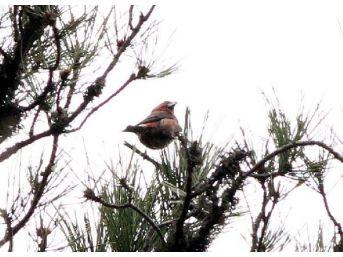 Çaprazgaga, Zonguldak'ın 304'üncü Kuş Türü Oldu