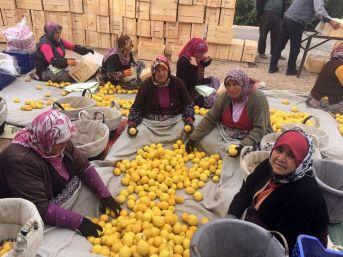 Mersin'de Limon Hasadı Sürüyor