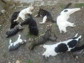 Alanya'da Kedi Ölümleri