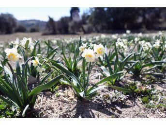 Büyükşehir Belediyesi'nin Dağıttığı Nergisler Çiçek Açtı