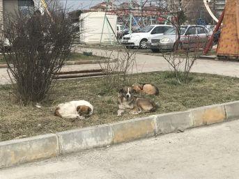 Alaplı'ya Bırakılan Köpekler İçin Belediye Alarmda