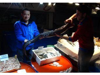 Bandırma'da 2 Metrelik Müren Balığı Avlandı