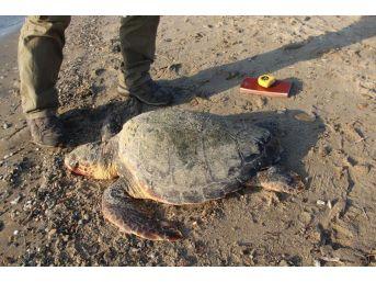 Kuşadası Körfezi'nde 2 Caretta Caretta Ölü Bulundu