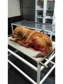 Tüfekle Vurulan Sokak Köpeğine Belediye Sahip Çıktı