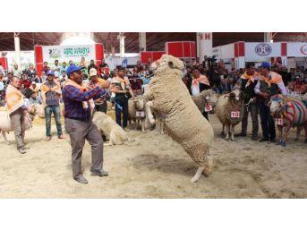 Burdur'da En Güzel Keçi Ve Koç Yarışması Yapıldı