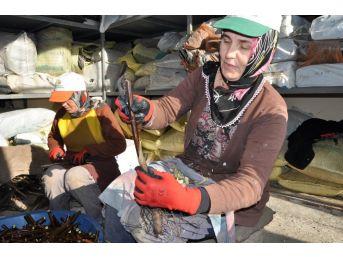 Bafra'da Aşılı Ceviz Üretim Hedefi Aşıldı