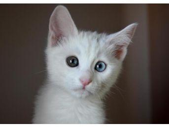 Van Kedilerine 'seks Yasağı' Kaliteyi Artırdı