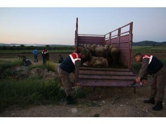 Edirne'de Hayvan Hırsızlığı