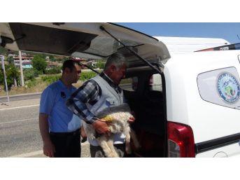 Seyir Halindeki Kamyon Kasasından Karayoluna Kuzu Düştü