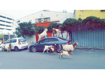 İzmir'de Keçiler Şehre İndi