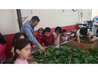 Köy Okulunda İpek Böceği Üretimi