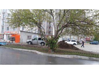 İpekyolu Belediyesi, Asırlık Dut Ağacı İçin Yolun Yönünü Değiştirdi