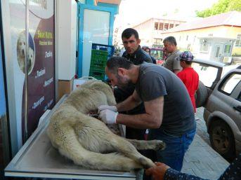 Posof'ta Köye Gelen Ayı Köpeği Yaraladı