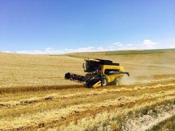 Sungurlu'da İlk Buğday Hasadı Yapıldı