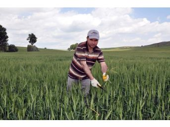 Yozgat'ta Çiftçiler Yabancı Otla Mücadeleye Başladı