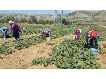 Yerli Tarım İşçisi Bulunmayınca Suriyeliler Devrede