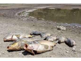 Göletteki Yüzlerce Balık Oksijensizlikten Öldü