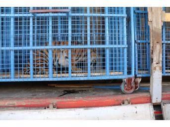 Halep Hayvanat Bahçesi'ndeki Yaban Hayvanları Türkiye'ye Nakledildi