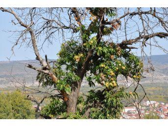 Kestane Ağaçlarında Dal Kanseri Mücadelesi
