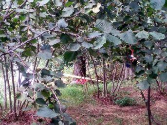 2 Gündür Kayıptı, Ağaçta Asılı Bulundu