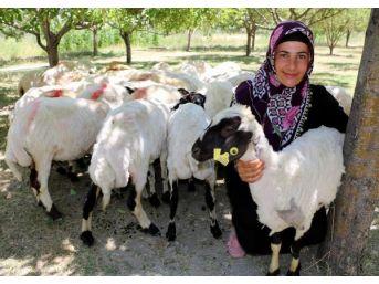 Çiftçilere 'koyun Yerine Kuzu Dağıtıldığı' Tartışması