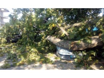 350 Yıllık Çınar Ağacının Dalları Araçların Üzerine Devrildi