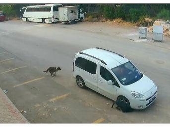 Antalya'da Köpeğin Ölümüne Sebep Olan Araç Sürücüsünün Ehliyetine El Konuldu