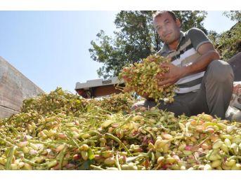 Antep Fıstığı, Aydın'da Bir Mahallenin Geçim Kaynağı Oldu