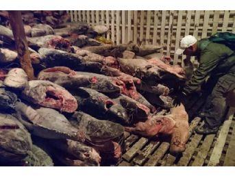 Galapagos Açıklarındaki Gemide Binlerce Köpekbalığı Bulundu