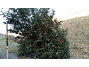 Dağ Başındaki Ağacı Dilek Ağacına Çevirdiler