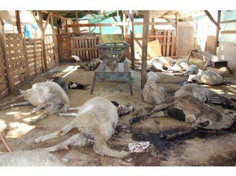 Manisa'da 50'den Fazla Küçükbaş Hayvan Telef Oldu