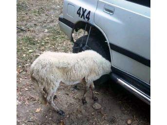 Aracın Çamurluğuna Kafası Sıkışan Kuzuyu İtfaiye Kurtardı