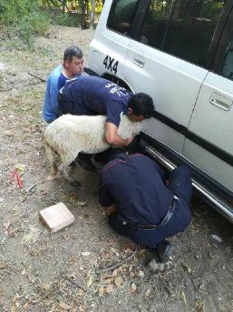Çamurluğa Kafası Sıkıştıran Koyunu Itfaiye Kurtardı