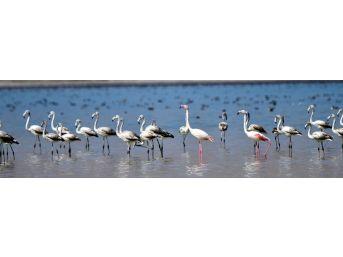 (özel Haber) Flamingolar Arin Gölünde İlk Defa Yoğun Şekilde Görüntülendi