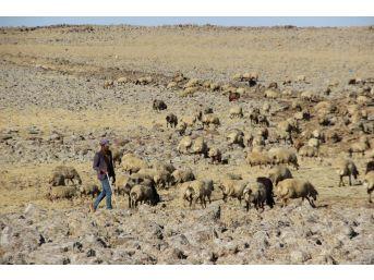 Diyarbakır'da Hayvancılar, 3 Bin Tl'ye Çalışacak Çoban Bulamıyor
