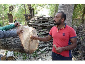 Çatak'ta Halk Sağlığını Tehdit Eden Kavak Ağaçları Kesiliyor
