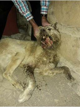 Amasya'da Köpeğin Çenesini Keserle Parçaladılar