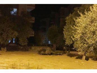 Milas'ta Domuz Sürüsü Şehre İndi