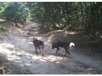 (özel Haber) Silivri'de Atları Yiyen Kurt Değil Köpekmiş