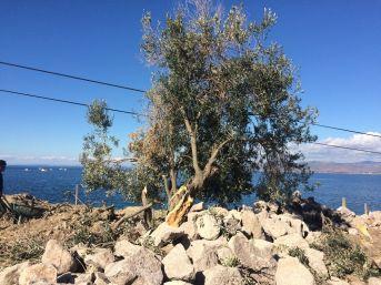 Asırlık Zeytin Ağaçlarını Kepçelerle Parçaladılar İddiası