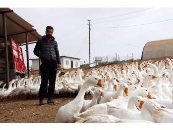 Mimarlığı Bıraktı Kaz Çiftliği Kurdu