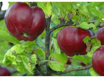 İçi Dışı Kırmızı Posof Elmasına Coğrafi İşaret Tescili
