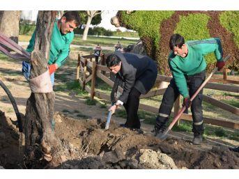 Zeytinli Park'a 100 Yıl Sonra İlk Zeytin Ağacı Dikildi