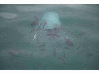 Kemerli Tarakçı Balıkları'nın Deniz Anasına Saldırı Anı Kameralara Yakalandı